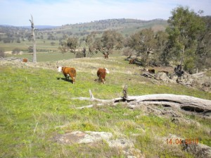 Cattle grazing hills