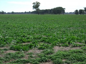 Chicory provided quality feed for early weaned calves at the Euroa demonstration site (April 2010) but is yet to prove its persistence.