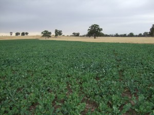 Brassicas can be a good option for providing quality green feed in summer while cleaning up a paddock in preparation for sowing new pastures (Euroa, December 3 2009)