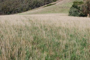 Tall fescue sown in a mix with cocksfoot was difficult to manage in spring at Tallangatta Valley Supporting Site when the tall fescue ran to seed much earlier than the cocksfoot.