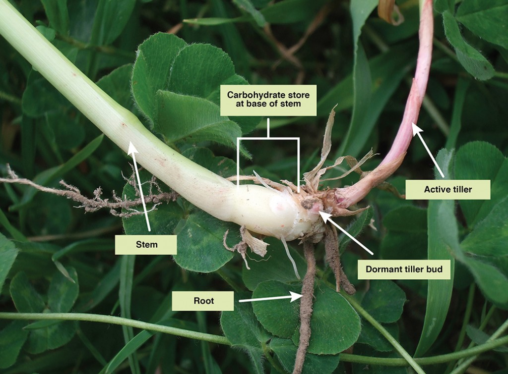 When phalaris is allowed to progress to stem elongation at the end of spring, it forms dormant tiller buds and a store of moisture and carbohydrates at the base of the stem. This keeps it alive through the hot dry summer and is especially important in new stands which have shorter roots than mature plants.