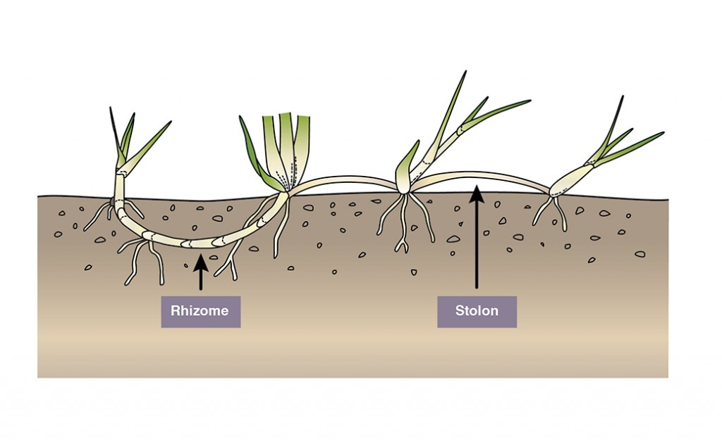 The difference between rhizomes and stolons