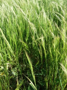 Silver grass (Vulpia spp.) can be a problematic weed in native pastures.