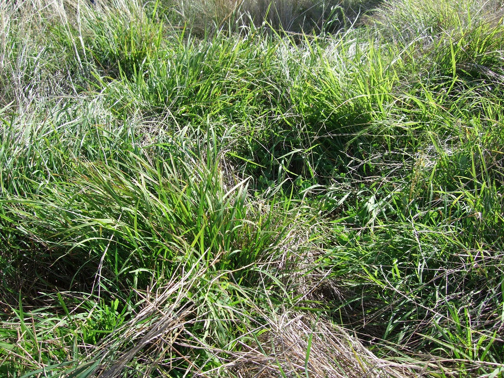 Microlaena can spread rapidly by tillers, stolons and rhizomes in response to summer rainfall.