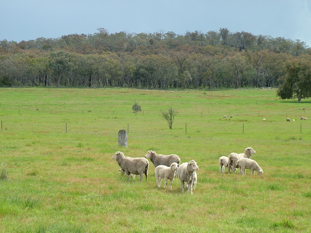 Native pastures at Chiltern Proof Site, spring 2009