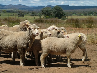 Dual purpose Merino ewes and first cross lambs at Chiltern