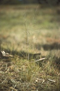 Spear grass (Austrostipa scabra)