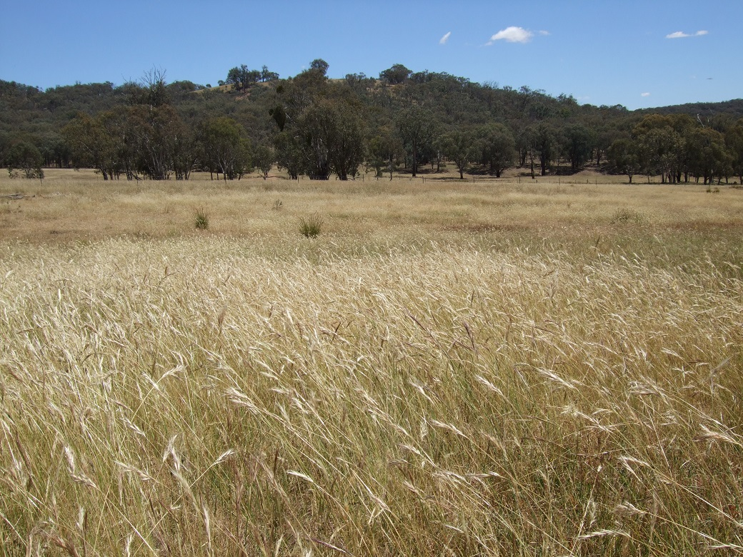 The native pasture at Holbrook had a diverse range of native grasses