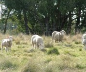 Native pastures at Chiltern suited store lamb production