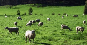The Morant's run livestock including 500 Poll Dorset stud ewes on their property near Tallangatta, Victoria.