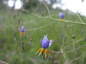 Flax-lily (Dianella spp.)