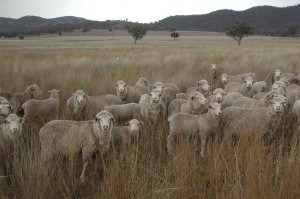 Spring 2009 showing Merino ewes and lambs grazing native perennial grass pastures