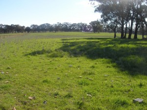 Both the autumn-sown phalaris (pictured) and the spring-sown phalaris performed better than the two annual ryegrass paddocks, despite being slower to establish.