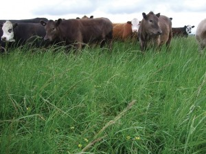 Tall fescue grows rapidly in spring and heavy grazing is required to retain feed quality