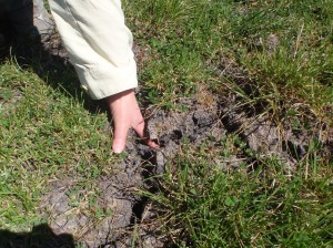 Whilst the phalaris held the soil together, the ryegrass site (pictured) cracked as before.