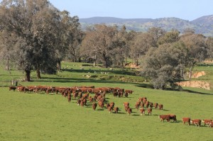 Cattle grazing in north east Victoria