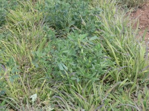 Lucerne/panic mix tested for ground cover management at Tamworth Proof Site