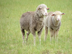 51% of the Victorian sheep flock is in south-west Victoria