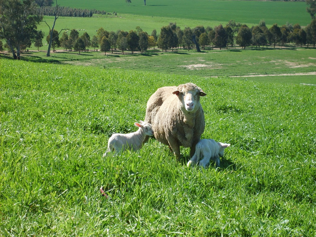 Ewe with twin lambs at Wagga Wagga - the Wagga Wagga EverGraze team found that flushing resulted in more multiple pregnancies.