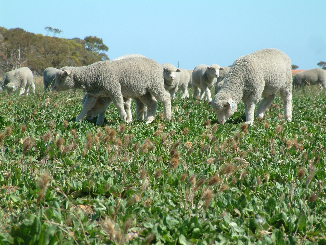 Lambs grazing chicory in Spring at the Wellstead Proof site