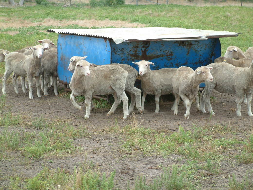 Lambs in feedlot – February 2008