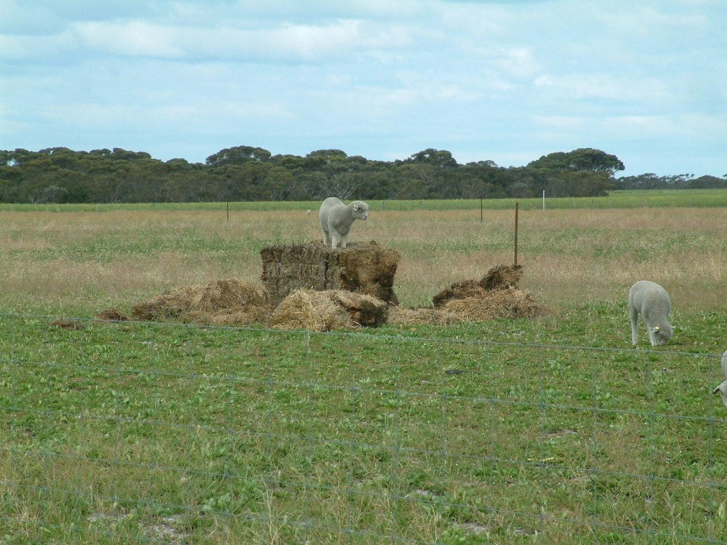 Lambs benefiting from additonal roughage in their diet when grazing chicory pastures in spring and early summer. Lambs were provided with straw to prevent scouring when grazing chicory