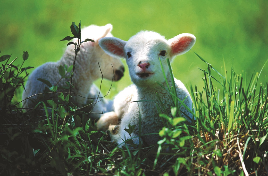 Twin lambs – up to 21 more foetuses per 100 ewes joined on lucerne compared to those grazed on dry pasture or cereal stubble.