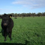 "Vanessa Ingram-Daniel's Weaner cattle grazing the annual ryegrass ""cleanup"" pasture at Marlo Supporting Site"