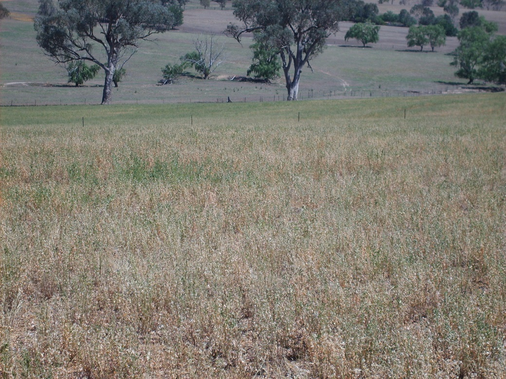 As little as 350 kg DM/ha of live green pasture was required to achieve a flushing effect