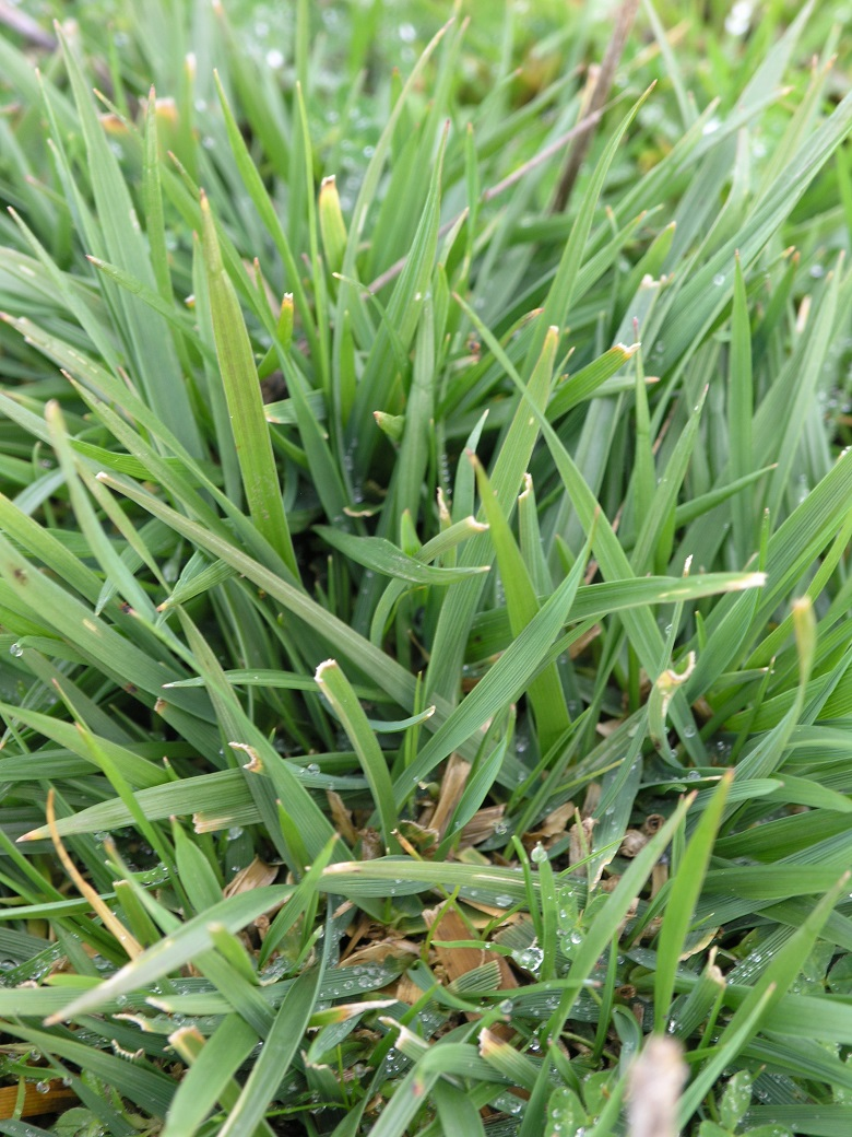 Summer active tall fescue.