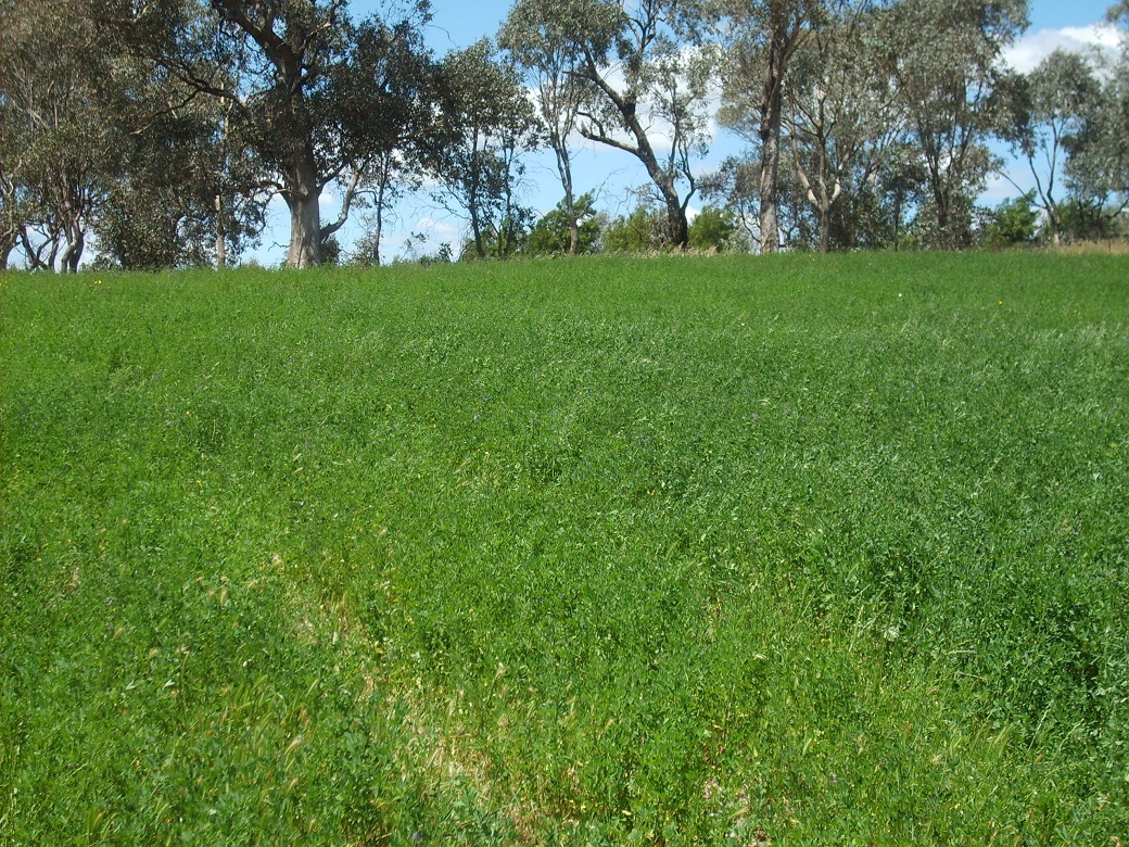 Lucerne pastures at Wagga Wagga Proof Site continued to expand basal cover eight years after establishment.