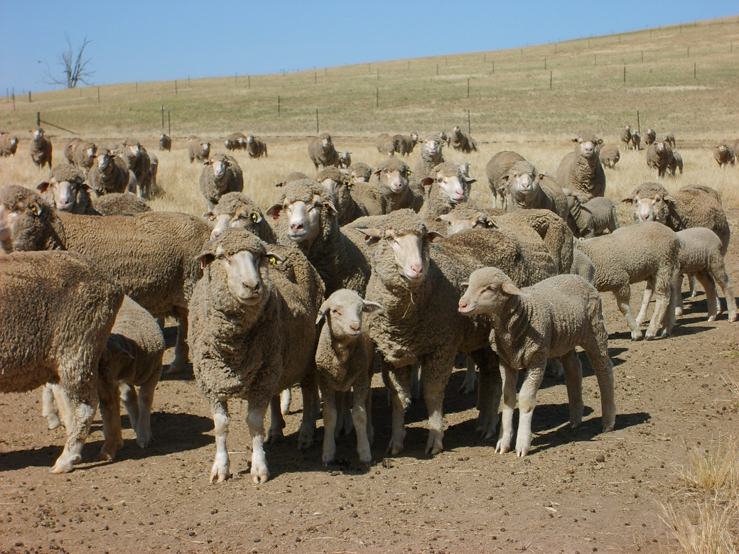 Sheep were fed in containment areas when ground cover reached 70%