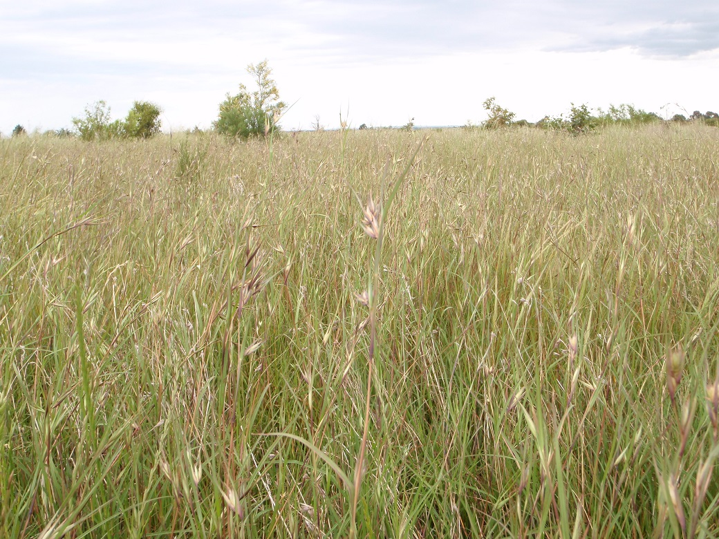 Native grasslands a biodiversity asset in south-west Victoria