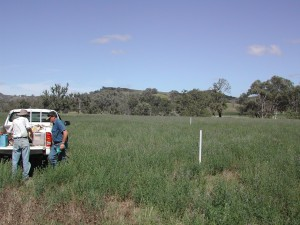Lucerne trial at the Tamworth Proof Site