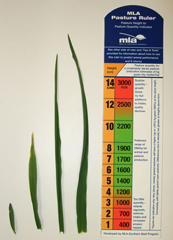 Figure 5: The relative size of the first, second, third and fourth phalaris leaves at the point of the autumn break. Each leaf takes approximately the same time to grow.