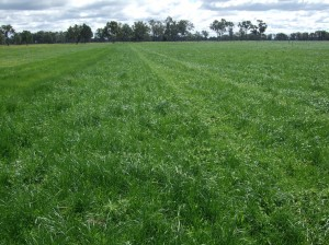 Persistence and production of tall fescue at the Euroa demonstration site was comparible to phalaris.