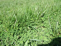 Tall fescue and sub clover