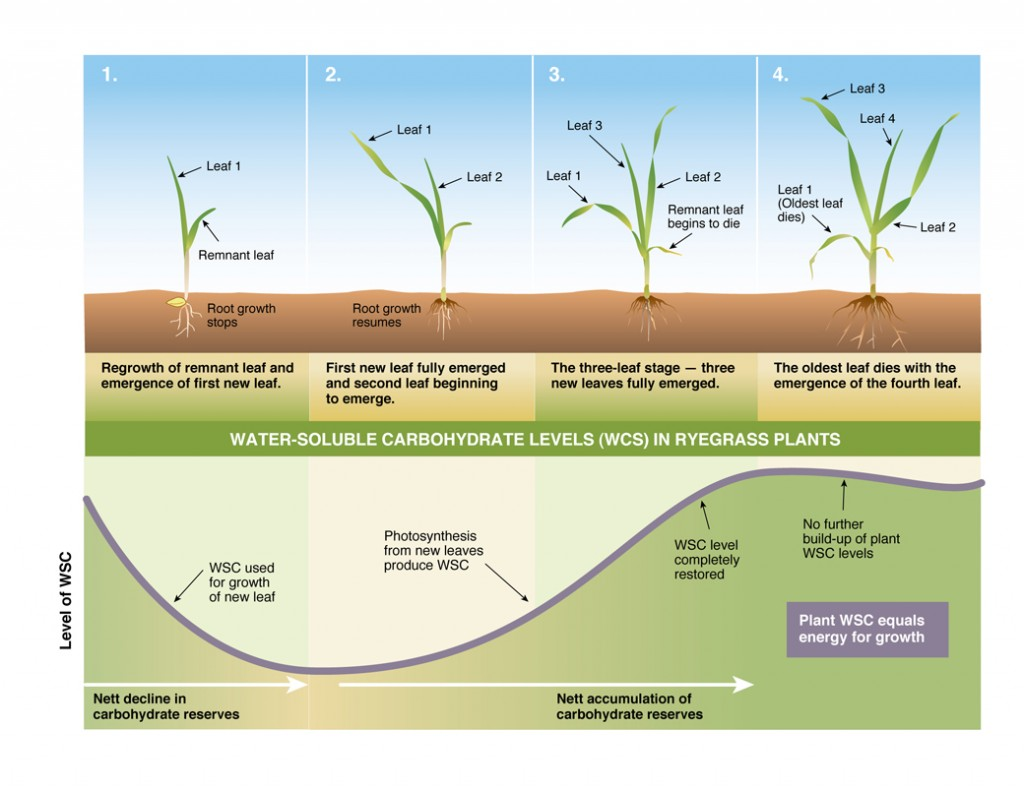 Figure 3. Depletion and recovery of energy reserves (water soluble carbohydrates) as a ryegrass plant re-grows (adapted from Donaghy & Fulkerson 1999)