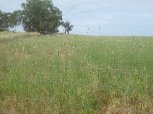 The six year old drought-affected phalaris stand at Wagga Wagga