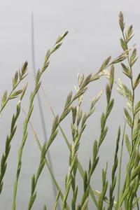 Tall wheatgrass seedhead
