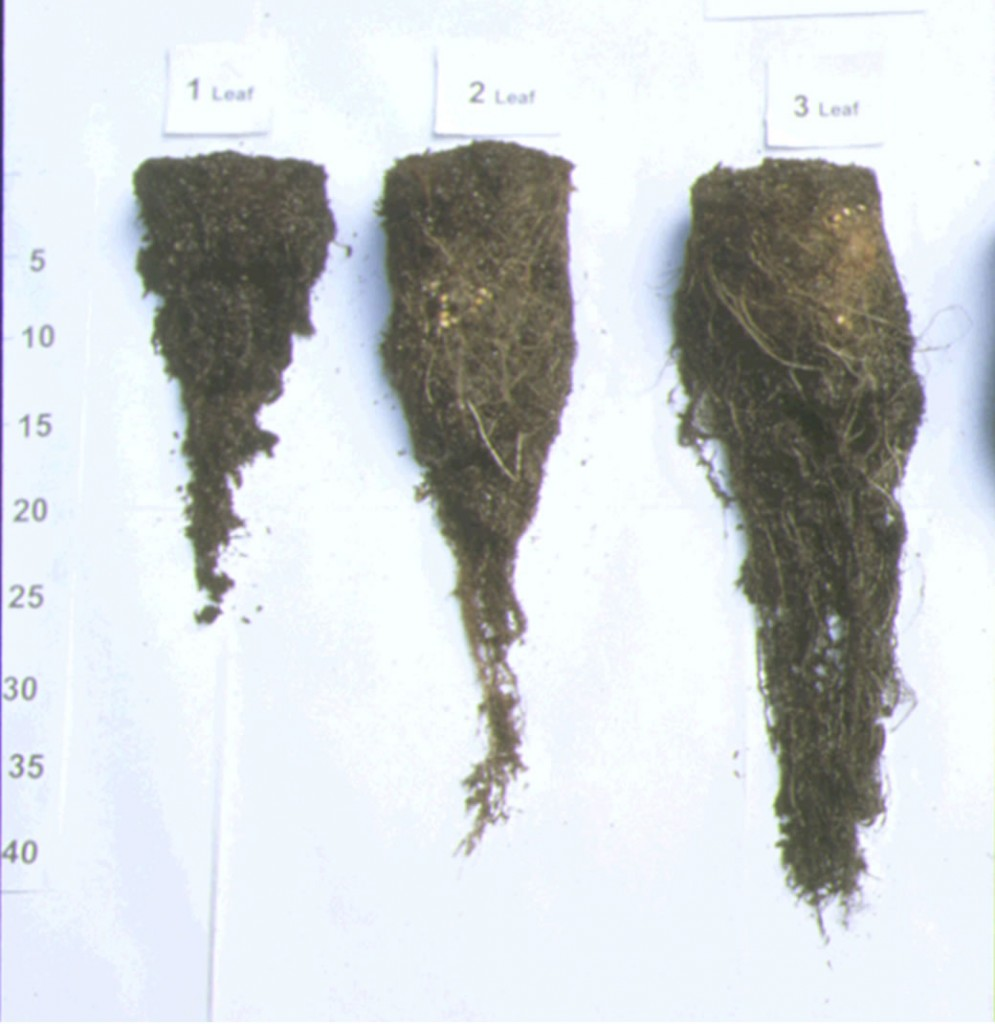 Figure 4: Root development of perennial ryegrass when cut at the one, two and three leaf stage