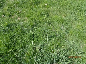 Phalaris and sub clover pasture in Dan's paddock after implementing the new rotational grazing strategy.