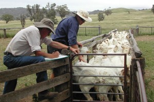 NSW DPI research staff, Mark Brennan and Brian Roworth (retired), assessing Merino fat score during on-farm monitoring.