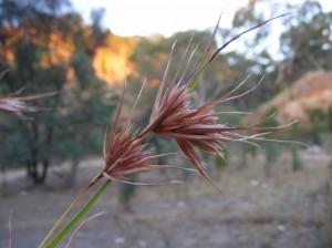 Kangaroo grass (Themeda australis)