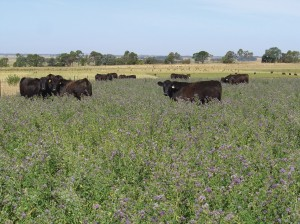 Cattle grazing lucerne at the Hamilton Proof Site. Lucerne provided valuable summer feed.